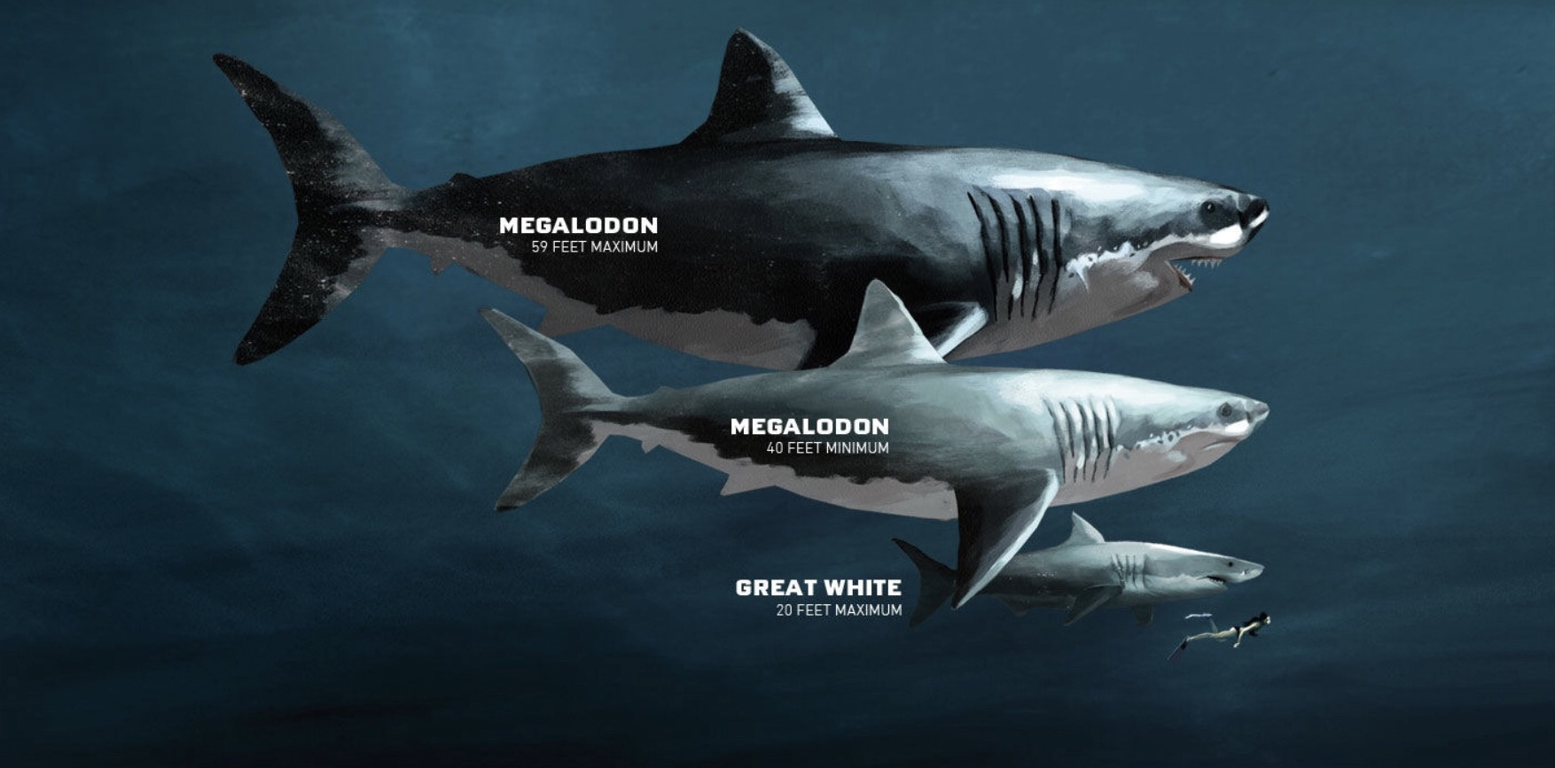 cuanto mide el megalodon
