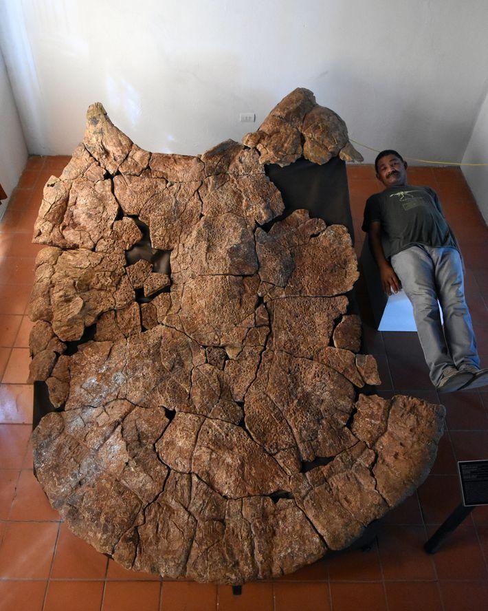 Fosil de Tortuga gigante